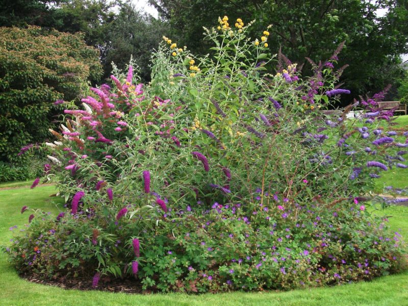Buddleia Bed