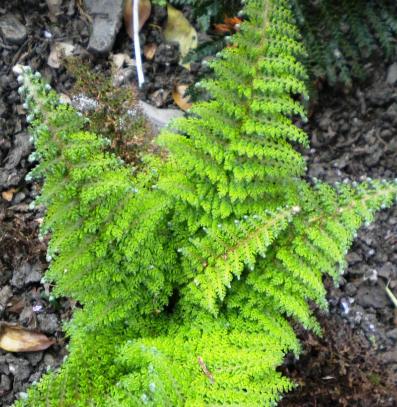 Polystichum Single Crop