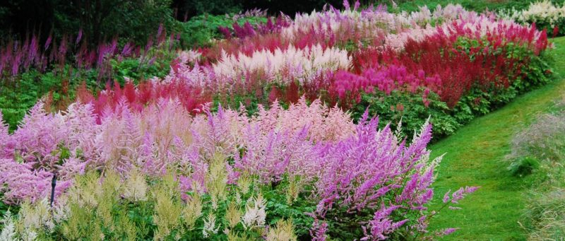 Astilbe Bed Crop